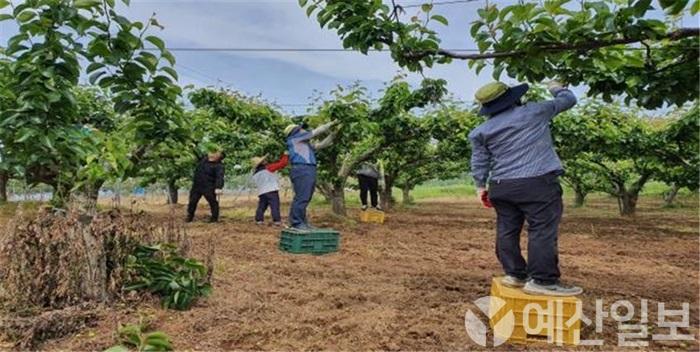 보도자료01_예산군에서 농촌 일손돕기 일환으로 과수적과를 하는 모습.jpg